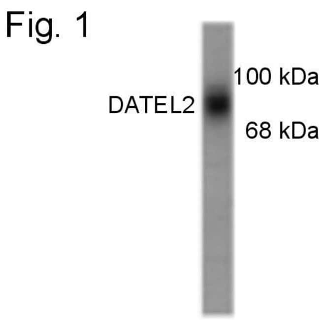 Dopamine Transporter Rabbit anti-Human, Non-human primate, Polyclonal,