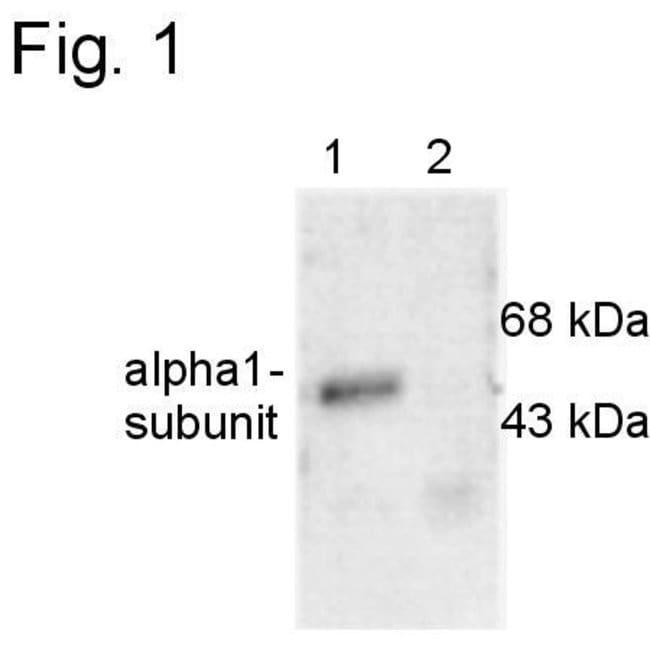 GABRA1 Rabbit anti-Mouse, Rat, Polyclonal, Invitrogen 100 µL; Unconjugated