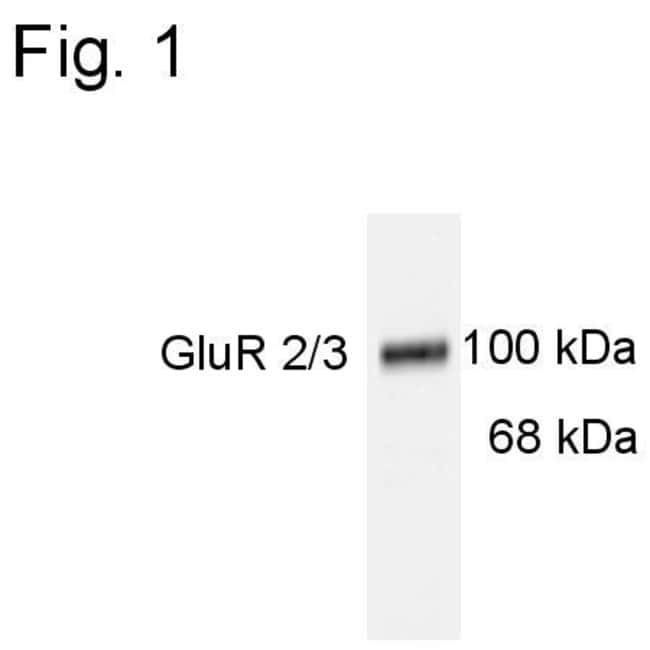 GluR2/GluR3 Rabbit anti-Rat, Polyclonal, Invitrogen 100 µL; Unconjugated