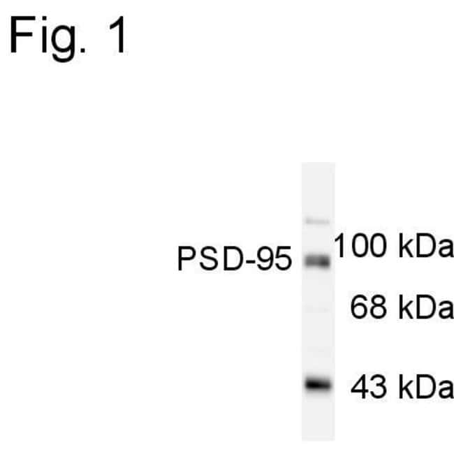 PSD-95 Rabbit anti-Mouse, Rat, Polyclonal, Invitrogen 100 µL; Unconjugated