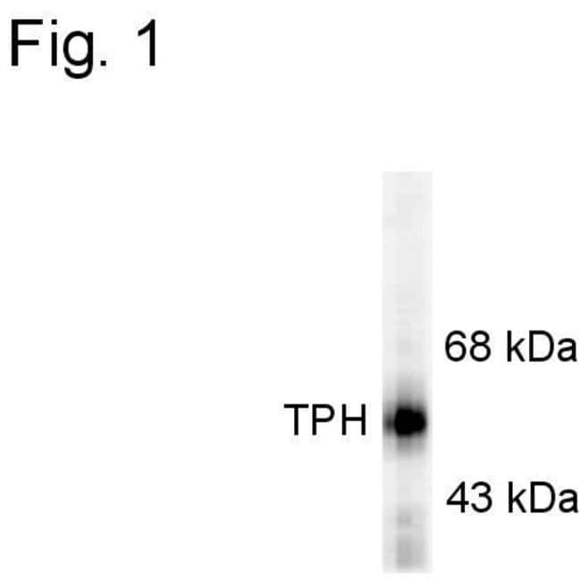 Tryptophan Hydroxylase Sheep anti-Human, Rat, Polyclonal, Invitrogen 100