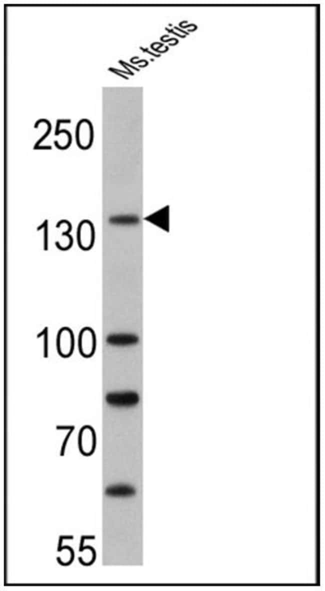 PER1 Rabbit anti-Human, Mouse, Polyclonal, Invitrogen 200 µL; Unconjugated
