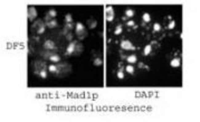 MAD1p Rabbit anti-Yeast, Polyclonal, Invitrogen 100 µL; Unconjugated
