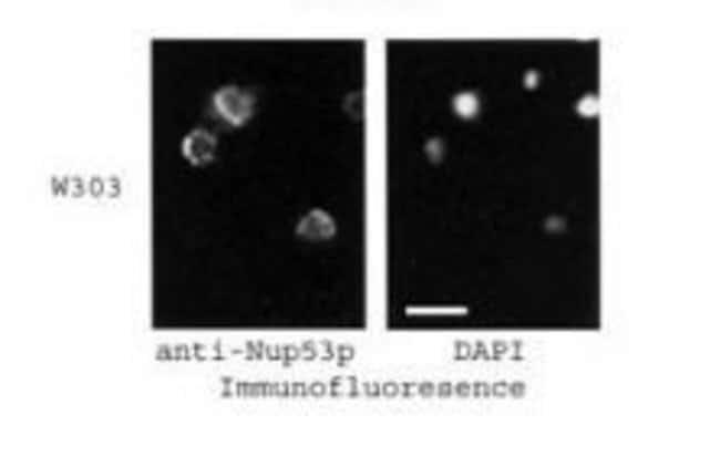 NUP53 Rabbit anti-Yeast, Polyclonal, Invitrogen 100 μL; Unconjugated:Antibodies
