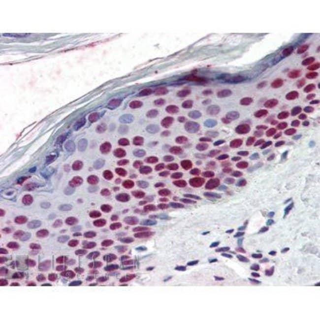 RCC1 Rabbit anti-Human, Xenopus laevis, Polyclonal, Invitrogen 100 μL;