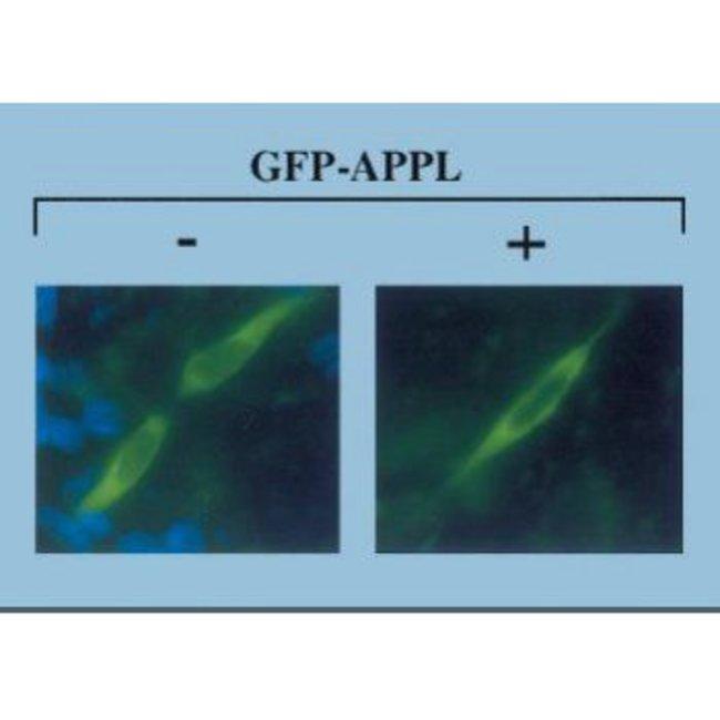 APPL1 Rabbit anti-Human, Mouse, Polyclonal, Invitrogen 50 µL; Unconjugated
