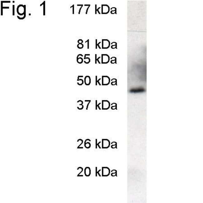 PREB Rabbit anti-Mouse, Polyclonal, Invitrogen 100 µL; Unconjugated
