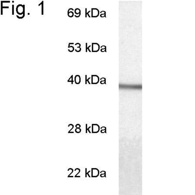 GNAT1 Rabbit anti-Bovine, Ovine, Polyclonal, Invitrogen 100 µg; Unconjugated