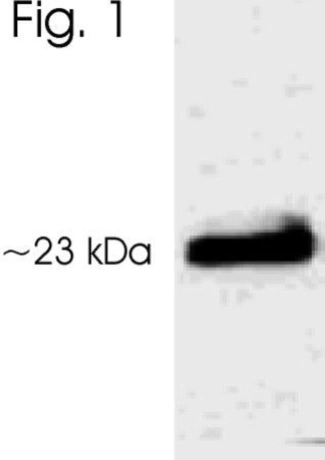 Phospho-AANAT (Thr29) Rabbit anti-Rat, Polyclonal, Invitrogen 50 µg;