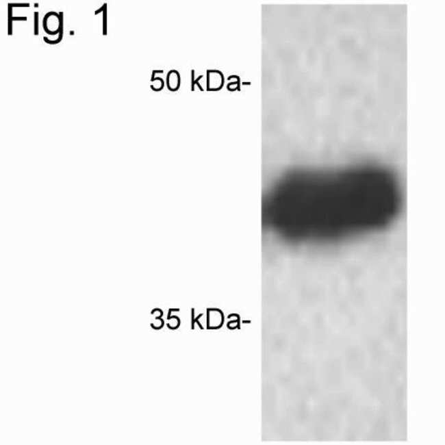 CREB Rabbit anti-Human, Mouse, Rat, Polyclonal, Invitrogen 100 µg;