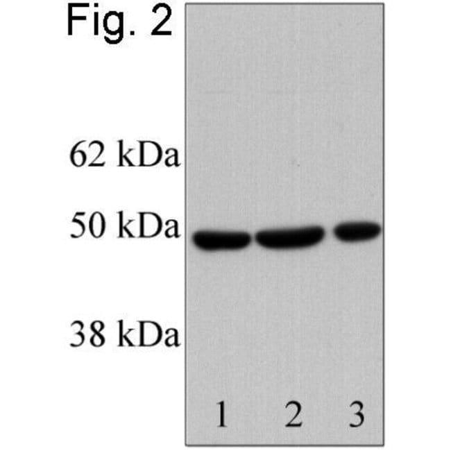 RbAp46 Rabbit anti-Human, Polyclonal, Invitrogen 100 µg; Unconjugated