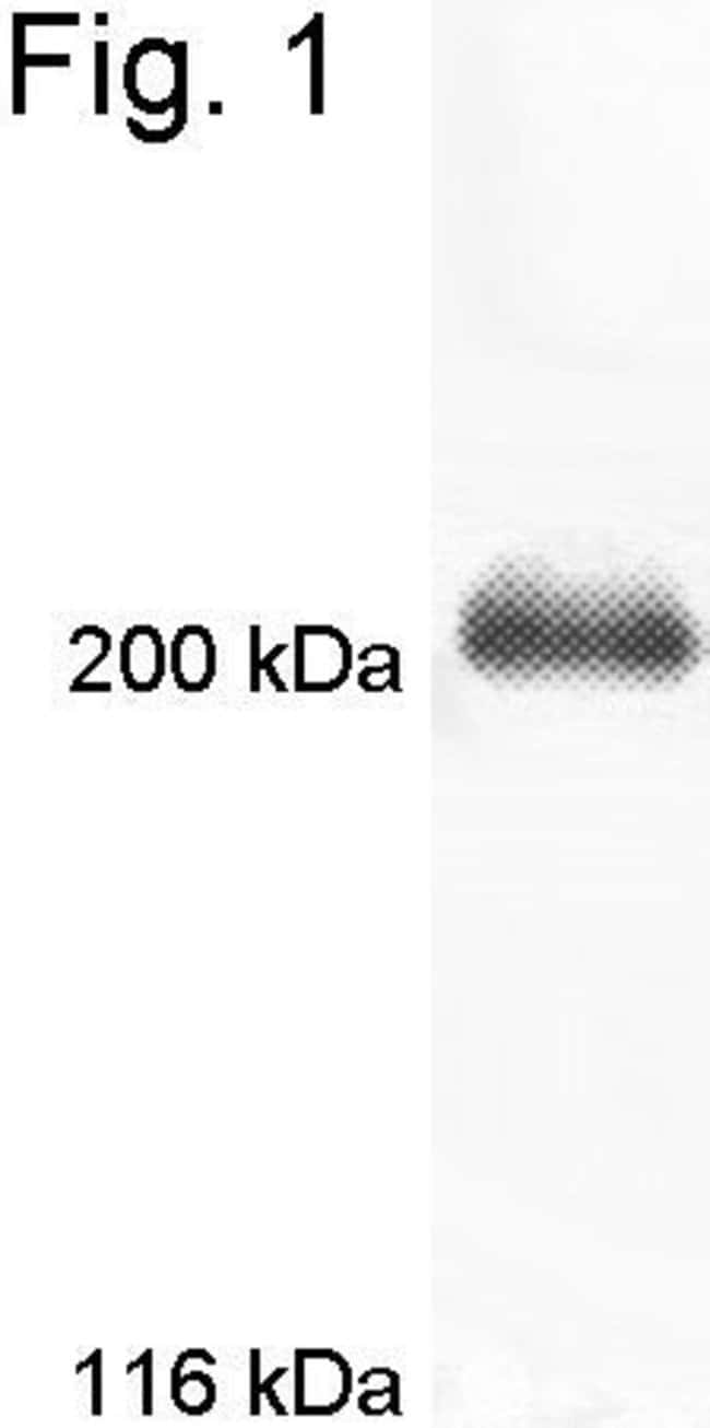 MYO7A Rabbit anti-Mouse, Rat, Polyclonal, Invitrogen 200 µL; Unconjugated