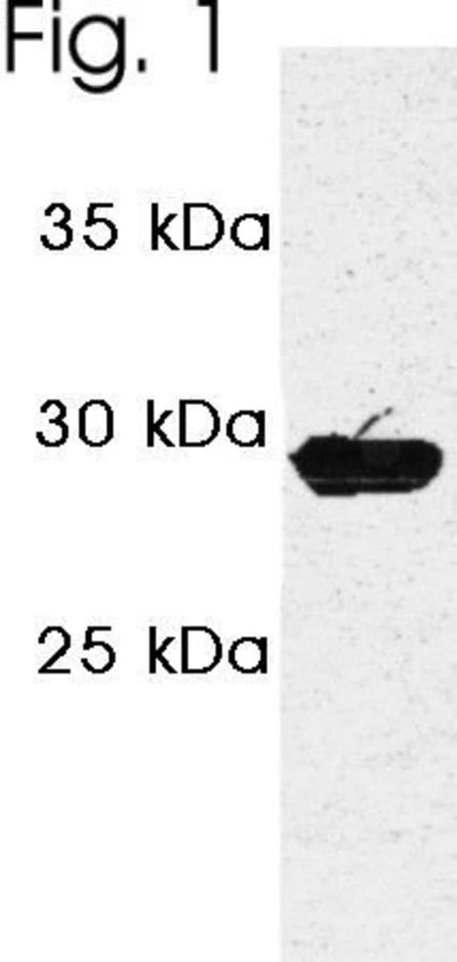 PSME3 Rabbit anti-Human, Polyclonal, Invitrogen 100 µg; Unconjugated
