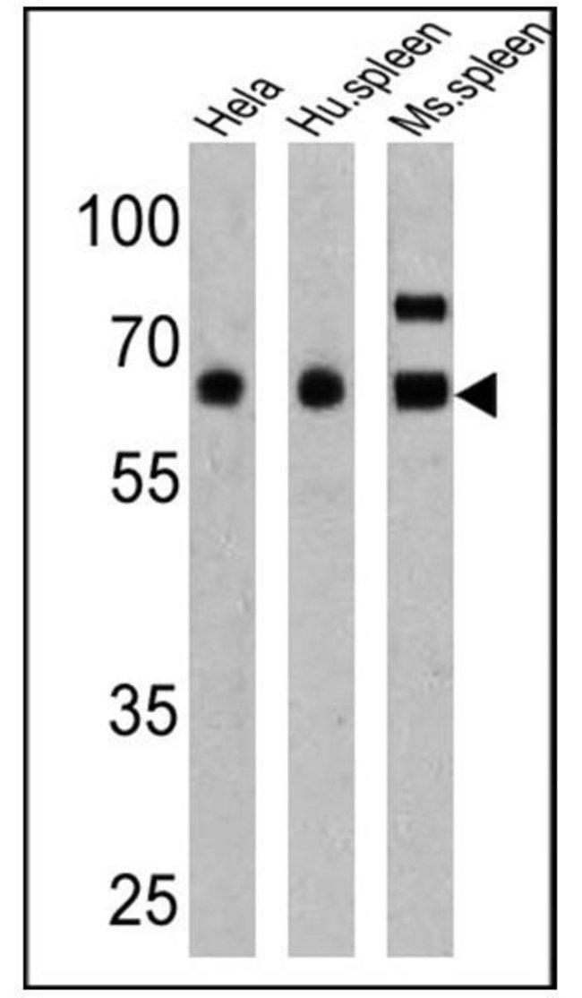 PKR Rabbit anti-Human, Mouse, Polyclonal, Invitrogen 100 µg; Unconjugated