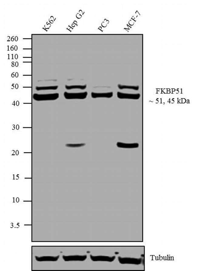 FKBP5 Rabbit anti-Canine, Hamster, Human, Mouse, Rat, Polyclonal, Invitrogen