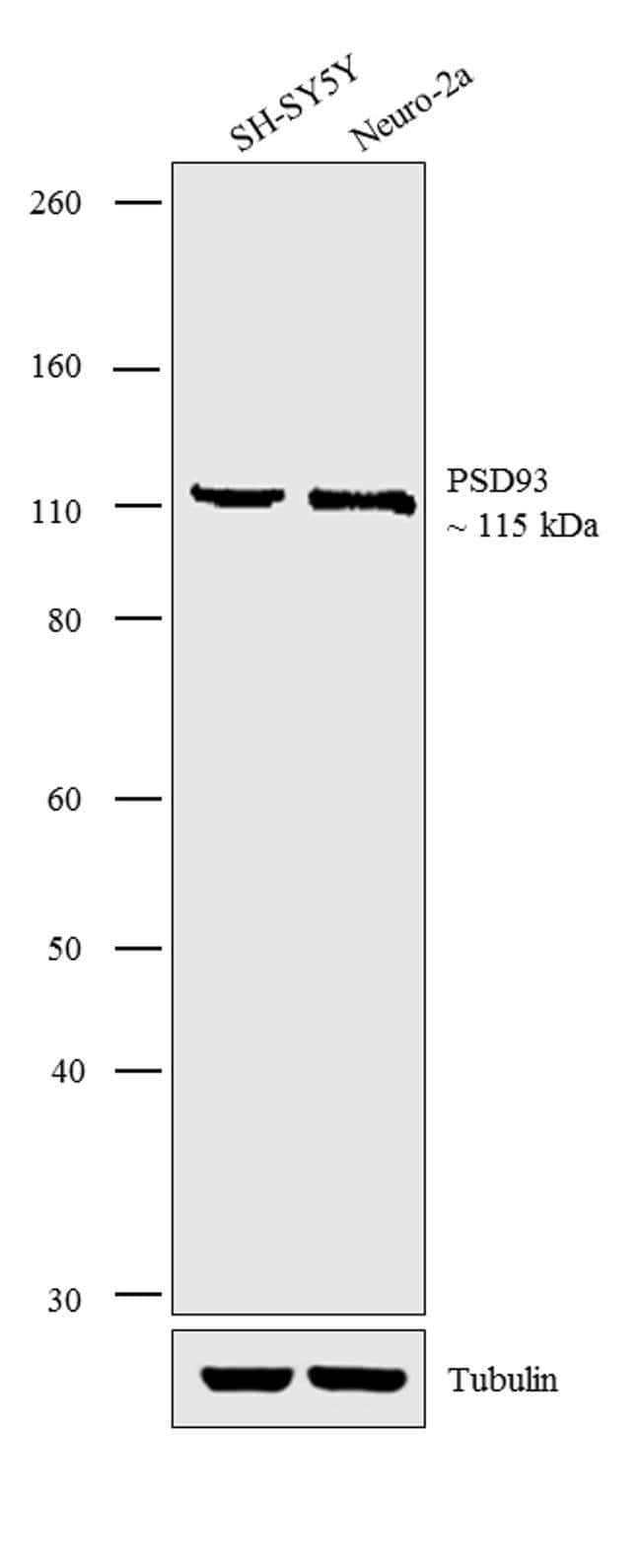 PSD93 Rabbit anti-Human, Mouse, Rat, Polyclonal, Invitrogen 100 µg;