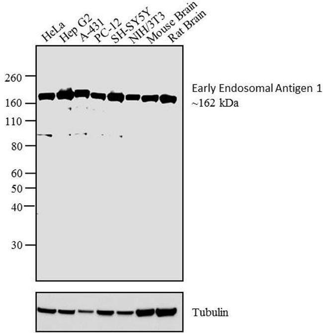EEA1 Rabbit anti-Human, Mouse, Polyclonal, Invitrogen 100 µg; Unconjugated