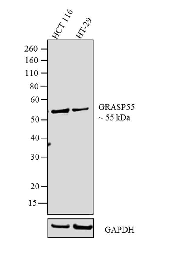 GRASP55 Rabbit anti-Mouse, Rat, Polyclonal, Invitrogen 100 µg; Unconjugated