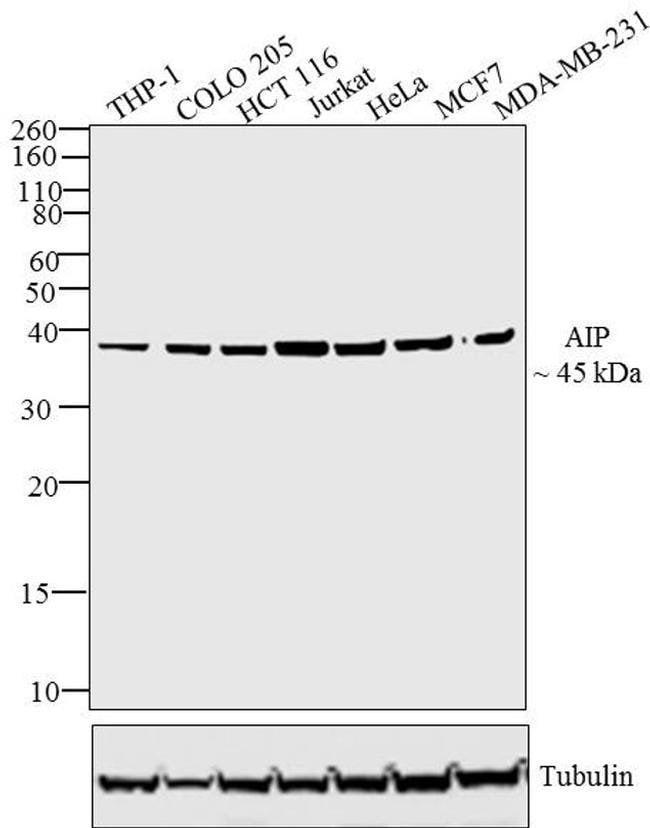 AIP Rabbit anti-Human, Mouse, Polyclonal, Invitrogen 100 µg; Unconjugated