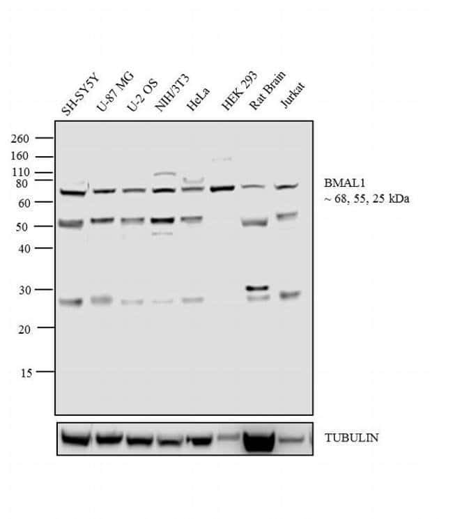 BMAL1 Rabbit anti-Hamster, Human, Mouse, Rat, Polyclonal, Invitrogen 200