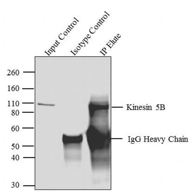 Kinesin 5B Rabbit anti-Human, Mouse, Rat, Polyclonal, Invitrogen 100 µg;