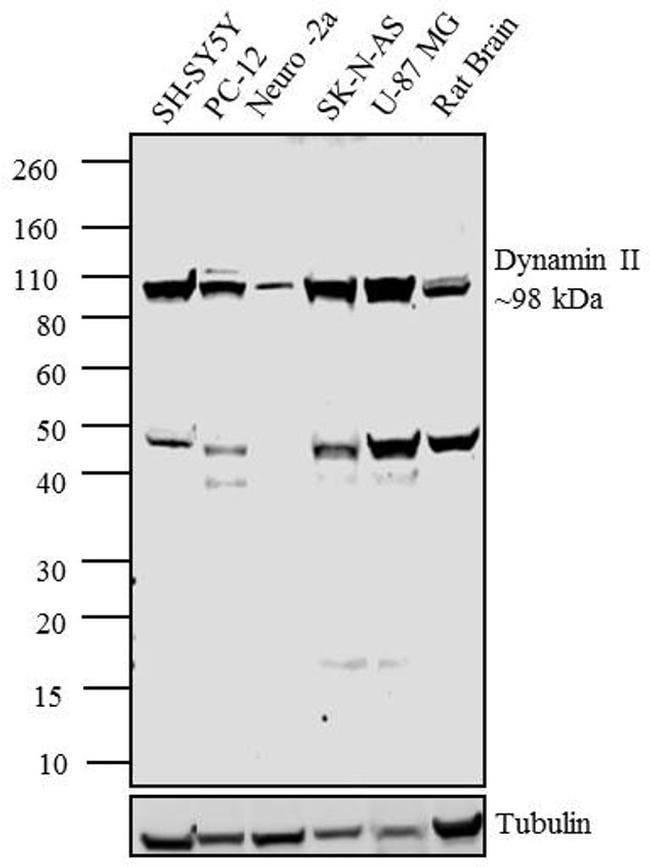 Dynamin 2 Rabbit anti-Human, Mouse, Rat, Polyclonal, Invitrogen 100 µL;