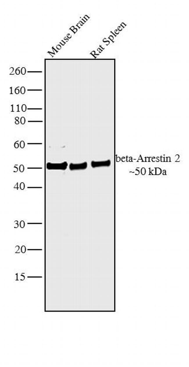 beta-Arrestin 2 Rabbit anti-Bovine, Human, Mouse, Rat, Polyclonal, Invitrogen™ 100 μg; Unconjugated Products