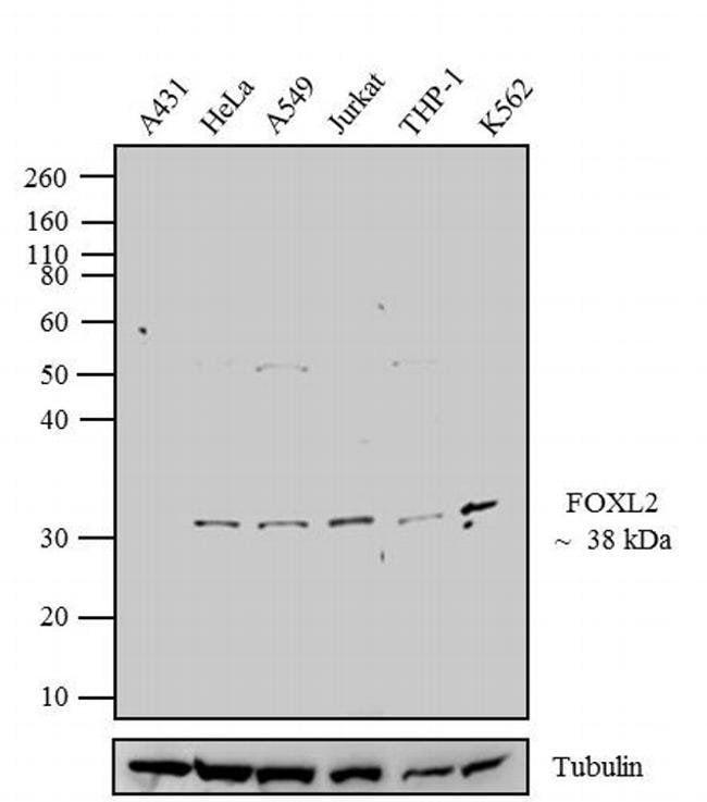 FOXL2 Rabbit anti-Hamster, Human, Mouse, Polyclonal, Invitrogen 100 µg;