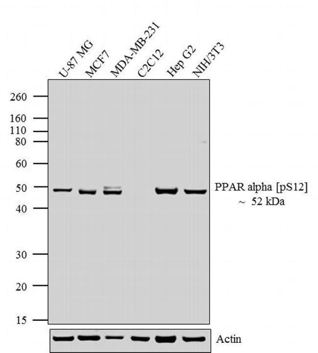 Phospho-PPAR alpha (Ser12) Rabbit anti-Human, Mouse, Polyclonal, Invitrogen