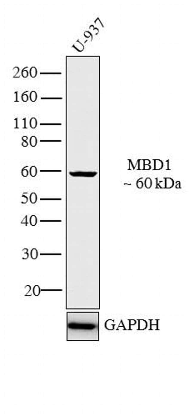MBD1 Rabbit anti-Human, Polyclonal, Invitrogen 100 µg; Unconjugated