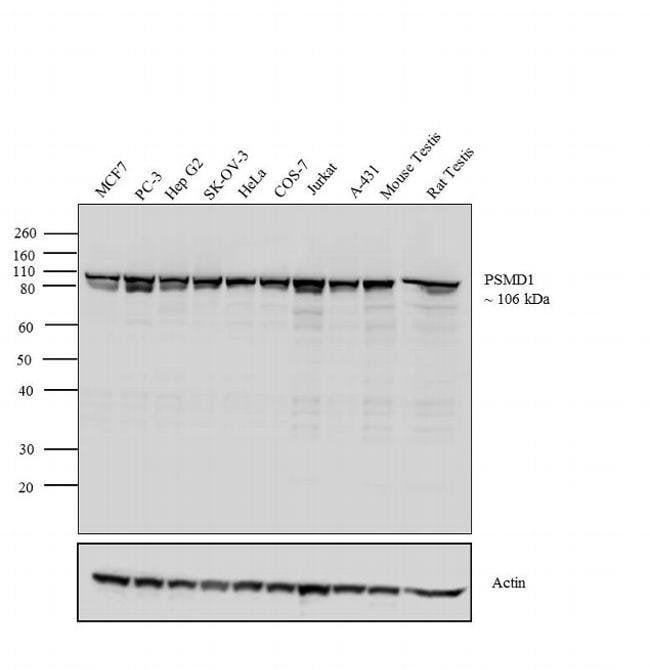 PSMD1 Rabbit anti-Bovine, Human, Mouse, Non-human primate, Rat, Polyclonal,