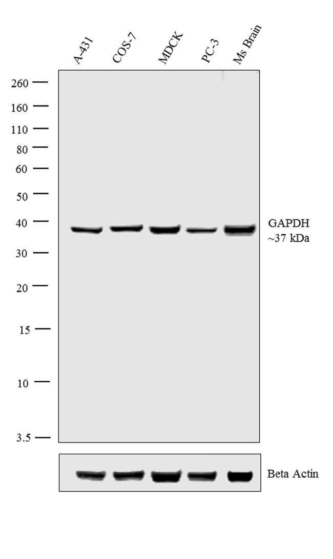 GAPDH Rabbit anti-Canine, Human, Mouse, Non-human primate, Rat, Polyclonal,