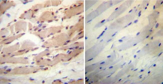 Cyclophilin 40 Rabbit anti-Human, Mouse, Rat, Polyclonal, Invitrogen 100