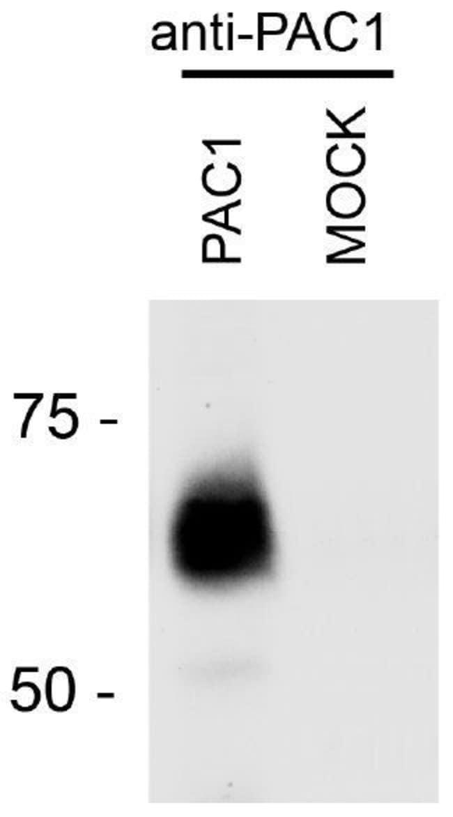 PACAP Receptor Rabbit anti-Mouse, Rat, Polyclonal, Invitrogen 100 µL;