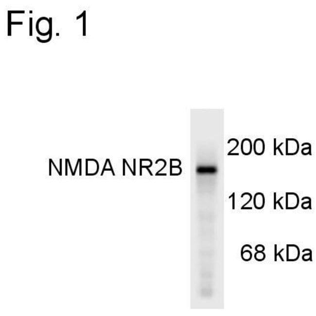 NMDAR2B Rabbit anti-Human, Mouse, Rat, Polyclonal, Invitrogen 50 µL;