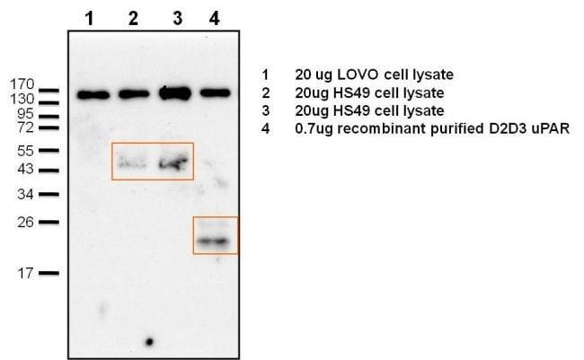 uPAR Rabbit anti-Human, Polyclonal, Invitrogen 100 µg; Unconjugated