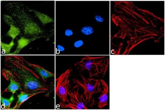 CXCR7 Rabbit anti-Human, Mouse, Rat, Polyclonal, Invitrogen 100 µL;