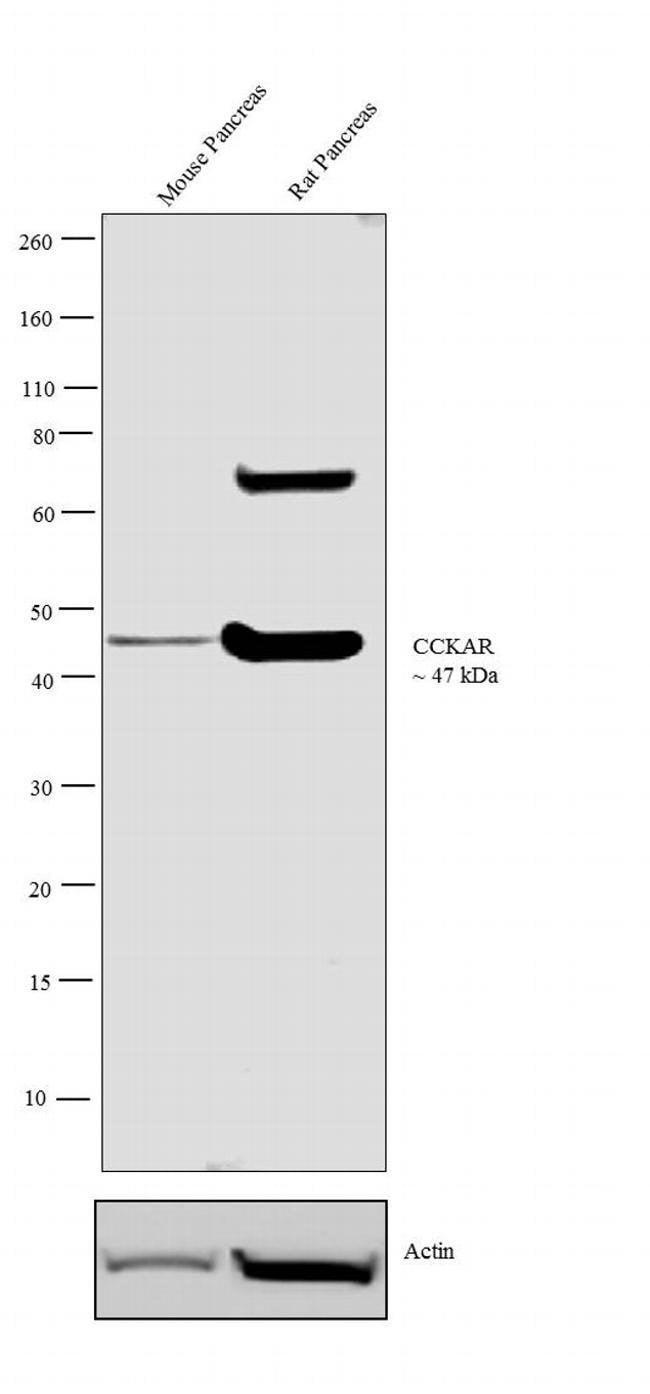 CCKAR Rabbit anti-Human, Polyclonal, Invitrogen 100 µL; Unconjugated