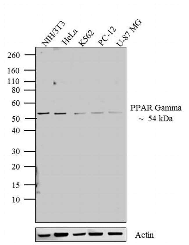 PPAR gamma Rabbit anti-Human, Mouse, Rat, Polyclonal, Invitrogen 100 µL;