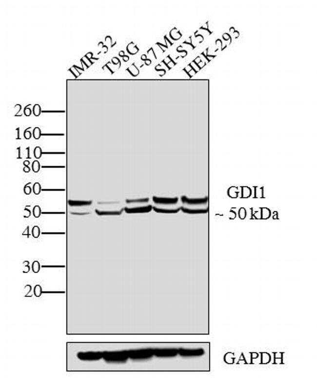 GDI1 Rabbit anti-Bovine, Human, Polyclonal, Invitrogen 100 μL; Unconjugated:Antibodies