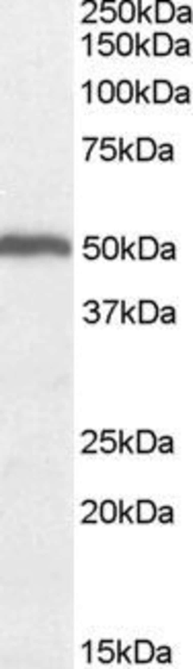 ORC4 Goat anti-Human, Mouse, Polyclonal, Invitrogen 100 µg; Unconjugated