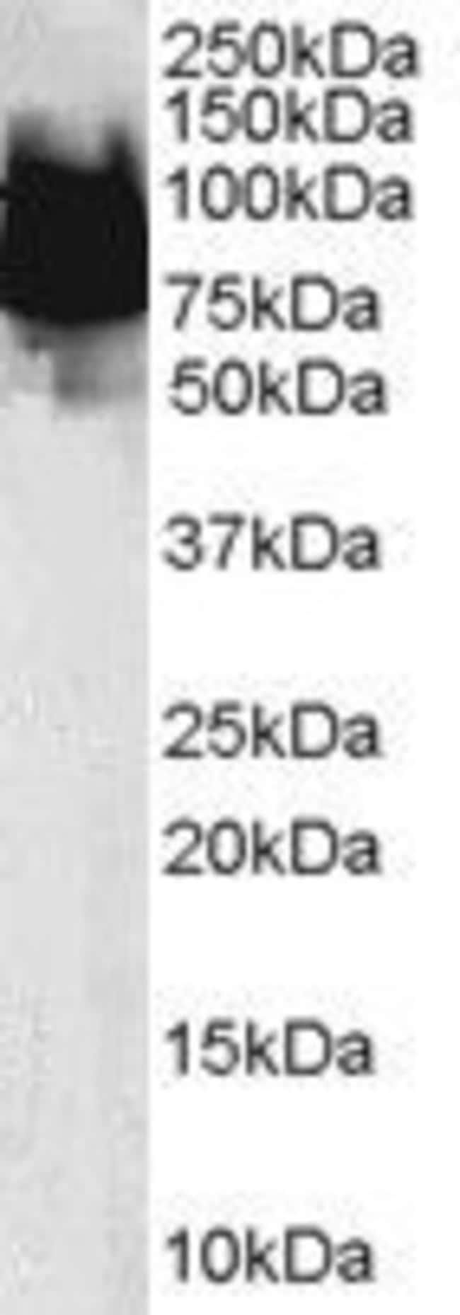 KLF4 Goat anti-Human, Polyclonal, Invitrogen 100 µg; Unconjugated