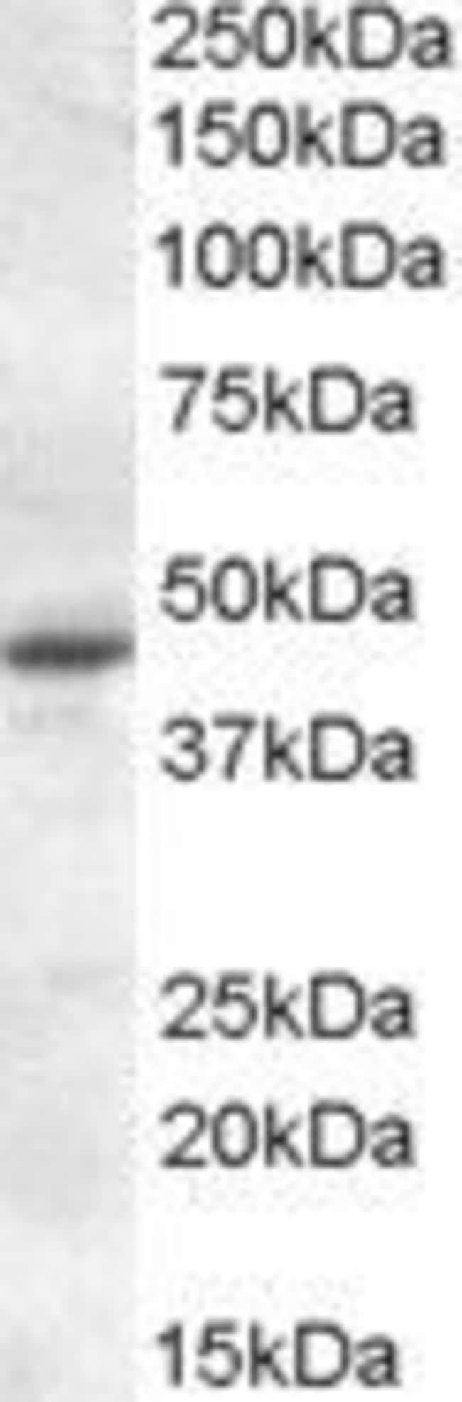 MTNR1A Goat anti-Human, Rat, Polyclonal, Invitrogen 100 µg; Unconjugated