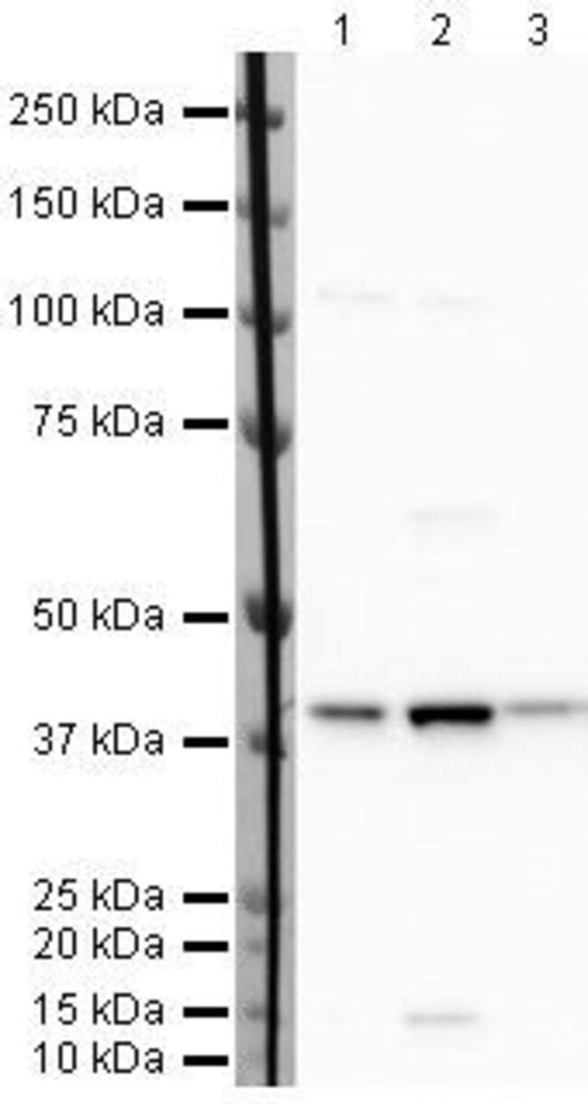 WDR77 Rabbit anti-Human, Polyclonal, Invitrogen 100 µg; Unconjugated