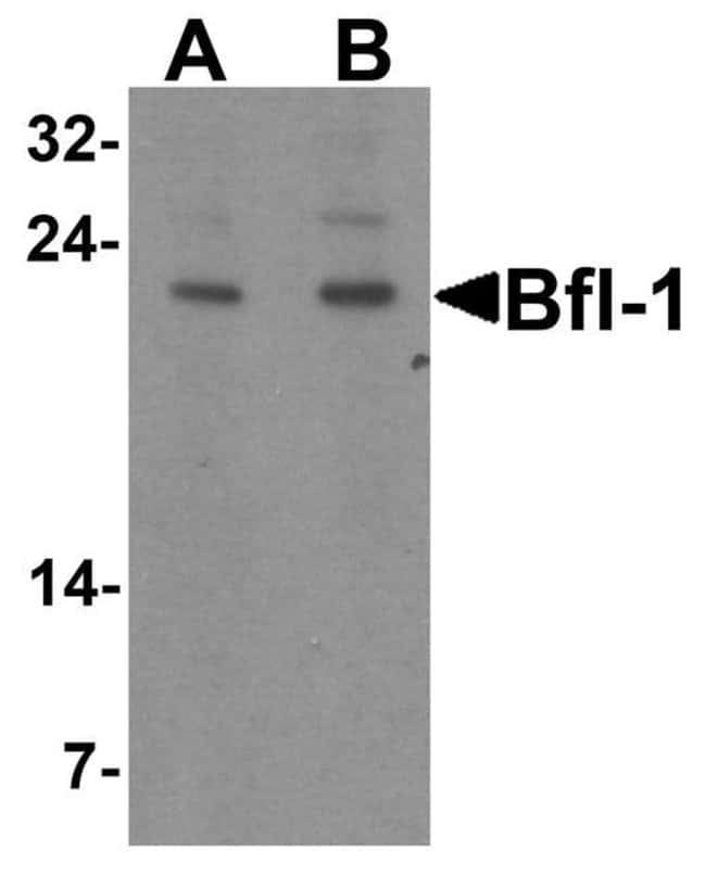 BCL2A1 Rabbit anti-Human, Mouse, Rat, Polyclonal, Invitrogen 100 µg;