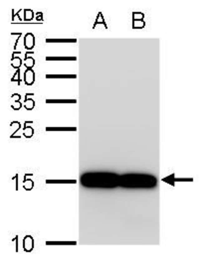 IBA1 Rabbit anti-Human, Mouse, Polyclonal, Invitrogen 100 µL; Unconjugated