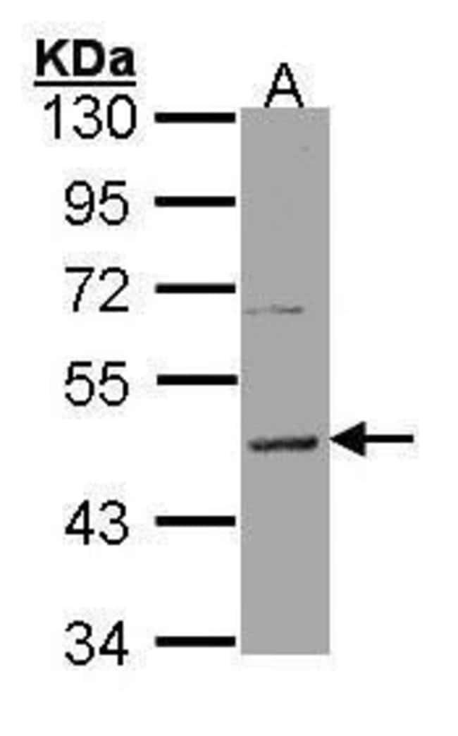 HRH3 Rabbit anti-Human, Polyclonal, Invitrogen 100 µL; Unconjugated