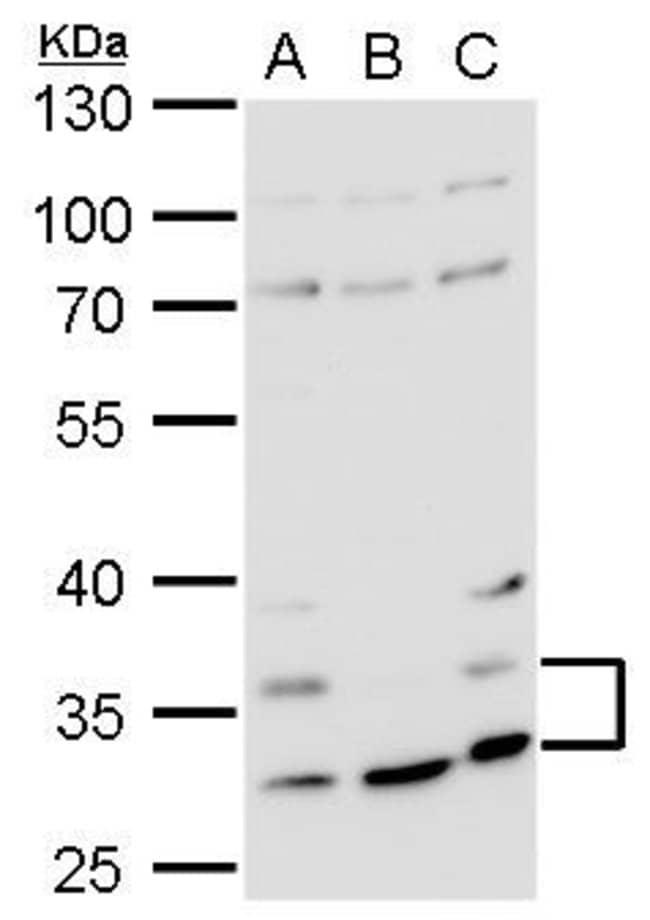 HRH4 Rabbit anti-Human, Polyclonal, Invitrogen 100 µL; Unconjugated