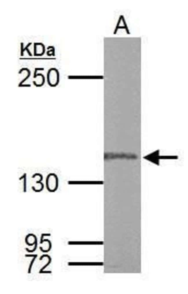 POLG Rabbit anti-Human, Rat, Polyclonal, Invitrogen 100 µL; Unconjugated