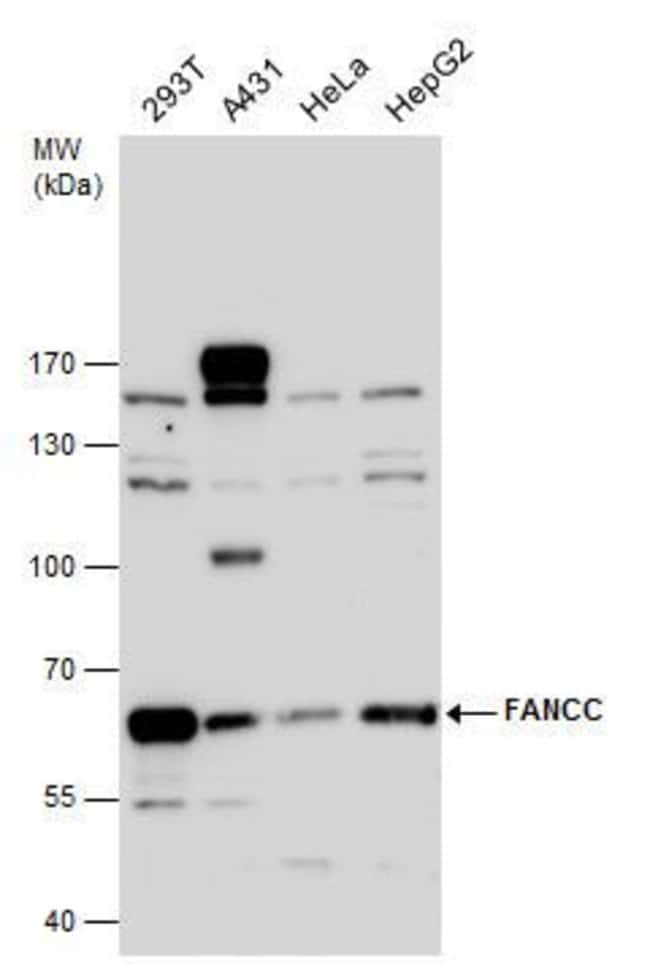 FANCC Rabbit anti-Human, Mouse, Polyclonal, Invitrogen 100 µL; Unconjugated